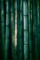 Beautiful Bamboo forest in dramatic morning light, abstract dark green culms of bamboos in Arashiyama, Kyoto, Japan.