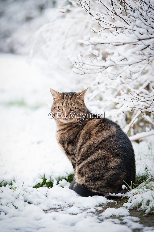 Tabby cat in the snow in a suburban garden, Leicester, England, UK.
