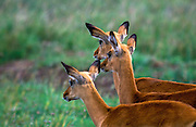 Herd of young impala antelopes in Masai Mara National Reserve, Kenya, Africa