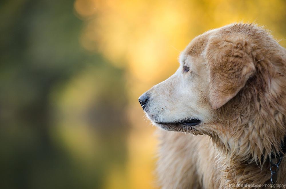 Wet dog (golden retriever) at the river, fall, California