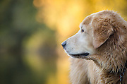 Wet dog (golden retriever) at the river, fall, California