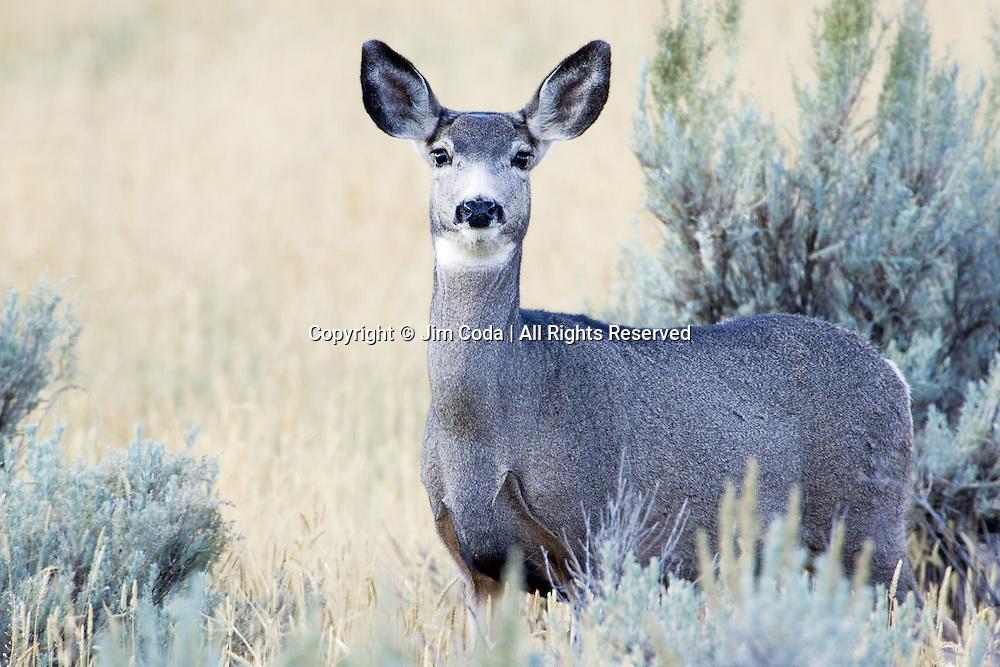 A doe mule deer looks at the camera.