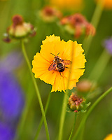 Lance-leaf Coreopsis with a bee. Image taken with a Leica SL2 camera and 90-280 mm lens