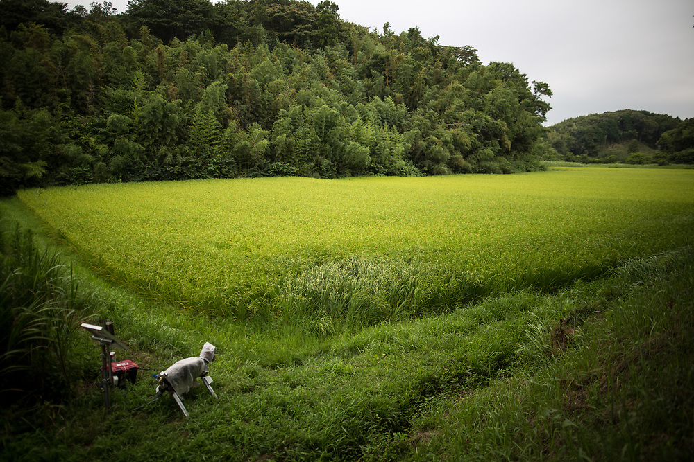 "CHIBA, JAPAN - AUGUST 10:  A robot named ""Super Monster Wolf"" a solar powered robot designed to scare away wild animals from farmer's crops is seen in the rice field in Kisarazu, southwestern Chiba Prefecture, Japan on August 10, 2017. (Photo by Richard Atrero de Guzman/NUR Photo)"