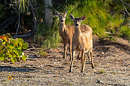 Key Deer on No Name Key in Florida, USA