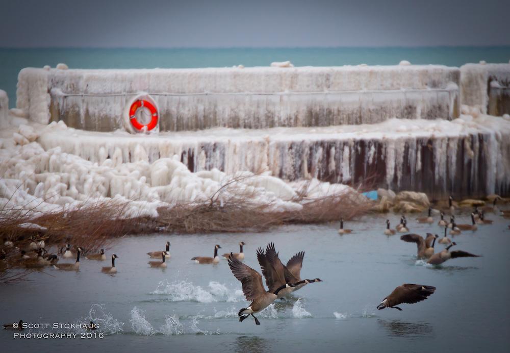 Flocks of geese call the Port Washington Marina home all winter long