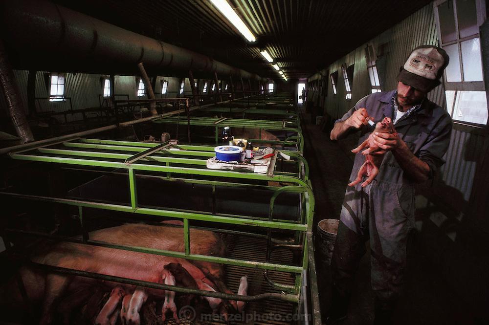 USA_AG_PIG_06_xs.Pigs/Swine/Hog: Vaccinating a newborn pig at the Mitri Hog Ranch. USA..