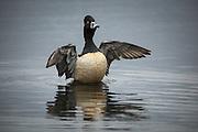 USA, Washington, Ridgefield, Ridgefield National Wildlife Refuge, Ring-necked Duck, drake (Aythya collaris) flapping as part of preening.