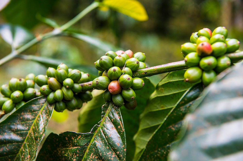 Close up of coffee beans( Rubiaceae) on a coffee plantation in the jungle of Sao Tome, Sao Tome and Principe, Atlantic ocean