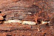Eastern Subterranean Termite; Reticulitermes flavipes; in tunnel in rotten log; NY, near Bear Mt., Orange Co.