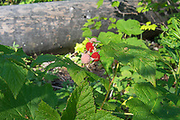 The thimbleberry is one of those often overlooked, highly under-appreciated wild berries that deserves a lot more credit that it gets. Found in all of the western states, and Canadian provinces and all around the Great Lakes, both in the United States and Canada the humble thimbleberry is considered by many to be superior than any raspberry. It is easily recognized in the wild by its large, papery maple-shaped leaves and completely thornless stalks. The tart, intensely fruity, high in Vitamin C berries are used to make some of the best jellies, and are often added to other berries such as blueberries, blackberries and raspberries to kick up the sweetness and flavor. These were found growing above Lake McDonald in Montana's Glacier National Park.