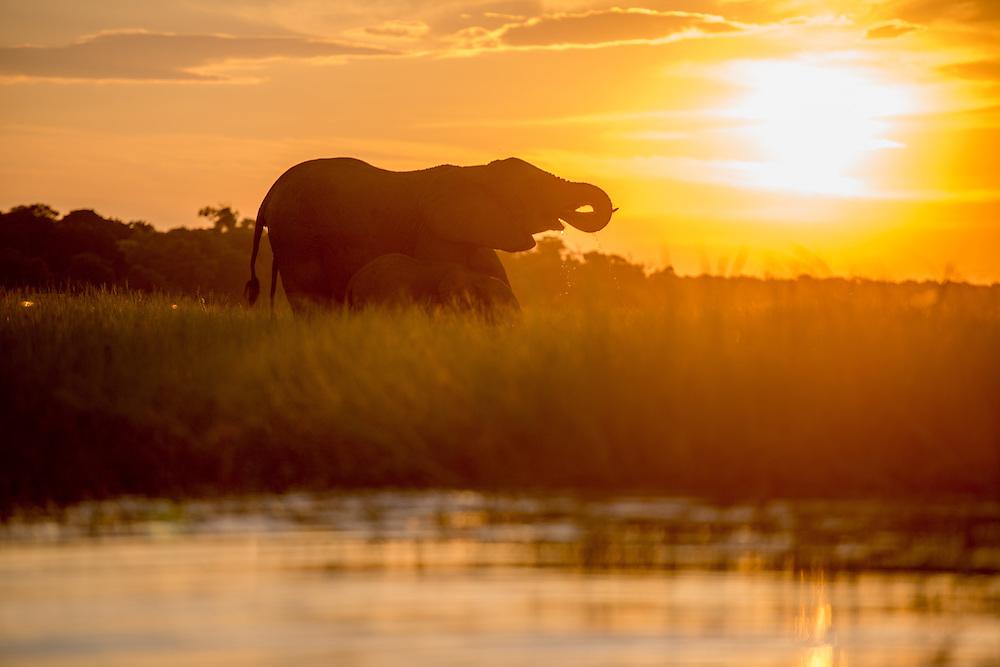 Kasane, Botswana - Chobe National Park<br /> African Elephants (Loxodonta)