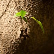 Banyan Tree, Indian Laurel Fig, Ficus Retusa Linn., Tainan City, Taiwan