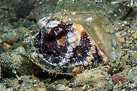 Coconut Octopus uses debris to hide and protect itself<br /> <br /> Shot in Indonesia