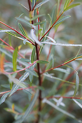 Salix purpurea 'Nancy Saunders'