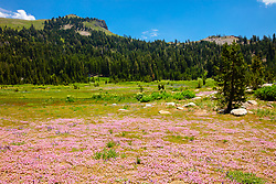 """Wildflowers in the Tahoe Back Country 8"" - Photograph of some wildflowers along a hiking trail in the Tahoe area back country, somewhat near Castle Peak."