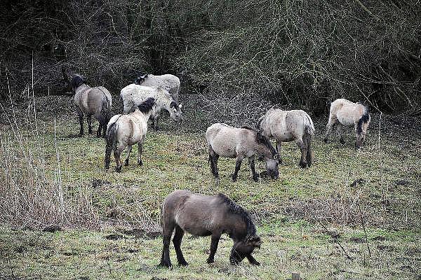 Nederland, Ooijpolder, 17-1-2011Konikpaarden in natuurgebied de Millingerwaard zijn naar een hoger gelegen deel geleid vanwege het hoogwater in de Rijn en Waal. Staatsbosbeheer, stichting de Ark.Foto: Flip Franssen/Hollandse Hoogte