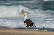 A great black-backed gull stands just beyond the reach of the surf along Provincetown's backside shore.