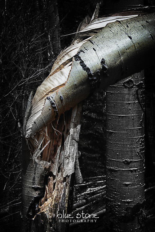 A split and twisted aspen, highlighting the texture and color of the bark.<br />