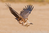 White-backed Vulture coming into land, Kgalagadi Tranfrontier Park, Northern Cape, South Africa