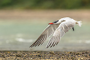 Caspian Tern in flight, Waiheke Island, New Zealand