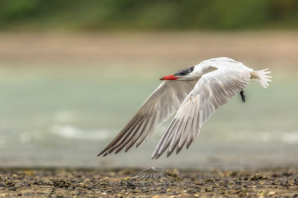 Caspian Tern in flight, Waiheke Island, New Zealand
