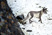 An arctic fox looks for bird nests on an island in Franz Josef Land, Russian Arctic.