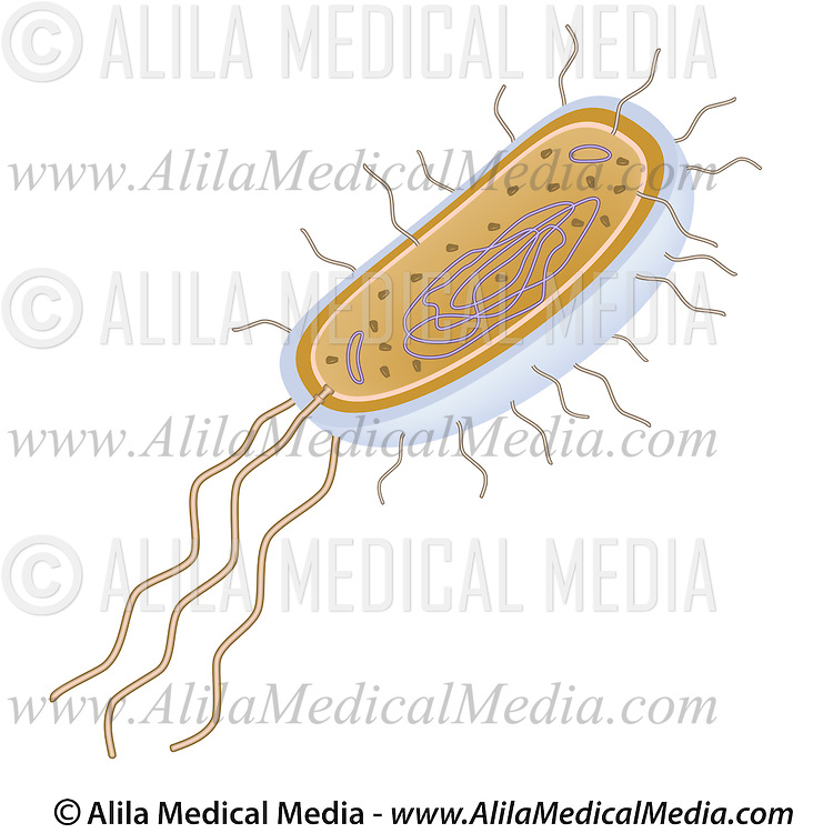Bacteria structure alila medical images structure of a bacterial cell labeled diagram ccuart Gallery