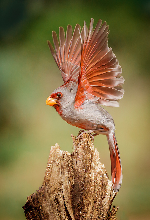 Cardinalis sinuatus, male