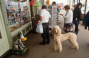 A pet poodle looks towards us in the same way that an RSPCA charity box does outside a seaside shop tourist.