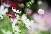 White and pink wildflowers. Photographed in Armenia