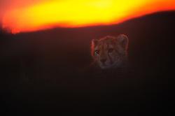 Cheetah (Acinonyx jubatus) cub at sunset, Masai Mara, Kenya