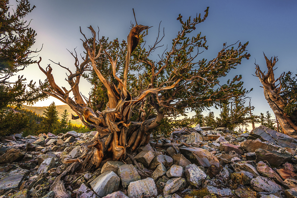 Bristlecone Pine at Great Basin National Park, Nevada