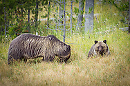 A grizzly bear and her cub forage for food in a meadow within Yellowstone National Park. Grizzlies are among the largest mammals in North America and can weigh from 300-800 pounds fully grown. They are also an endangered species, with only 1,500 bears left in the Continental US. These all live in the Northwest with the Yellowstone area supporting a population of about 600. Grizzlies are very protective of their young and may attack if they feel threatened.