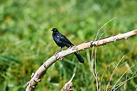 Great-tailed Grackle (Quiscalus mexicanus)  fperched on a branch, Lake Chapala Jocotopec, Jalisco, Mexico