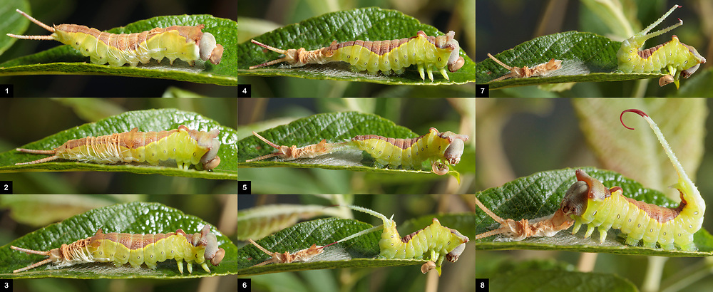 Puss moth (Cerura vinula) caterpillar shedding its skin. Surrey, UK.