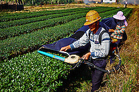 Chine, Province du Fujian, village de Huaiyuan Lou, culture du thé vert Olong // China, Fujian province, Huaiyuan Lou village, Olong green tea culture, tea harvest