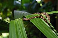 The Ringed Snail-eater, Sibon annulatus, is also called a Goo Snake or Slug Snake; La Selva, Costa Rica