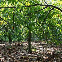Plantación de Cacao en la selva de Birongo, Edo. Miranda. Venezuela