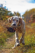 English setter pup, Jasper, retrieving his first woodcock