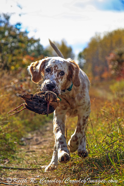 English setter pup, Jasper, retrieving his first woodcock