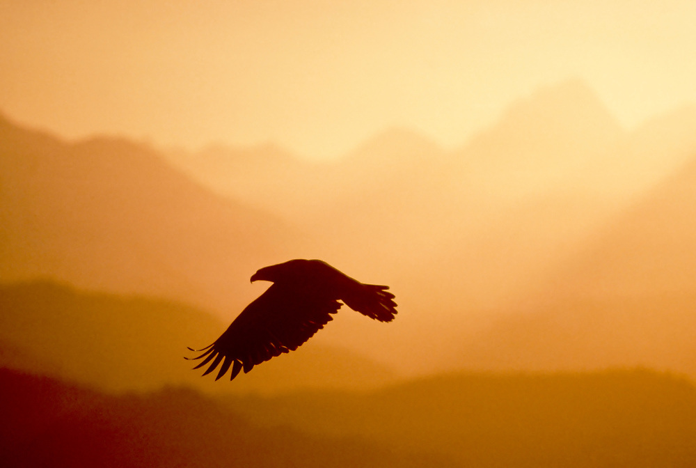 Alaska, Homer. Bald eagle in flight silhouetted against the mountains.