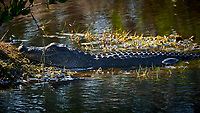 Alligator warming in the morning sun. Merritt Island National Wildlife Refuge. Image taken with a Nikon D4 Camera and 80-400 VRII lens
