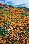 California Poppies (Eschscholzia californica), Antelope Valley, California USA