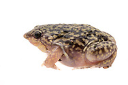 Spotted Burrowing Frog, Spotted Shovel-nosed Frog (Hemisus guttatus)<br /> AFRICA: Mozambique: Sofala<br /> Gorongosa National Park; Chetenga<br /> 21-May-2018<br /> J.C. Abbott