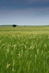 Smooth brome grass grows in the lowland prairie area along Fox Creek in the Tallgrass Prairie National Preserve in the Kansas Flint Hills. This view, seen from the Fox Creek Trail, is indicative of the type of cool-season agricultural hay grass that the National Park Service hopes to replace with true warm-season prairie grasses in an effort to restore the lowland prairies to their natural state. Bottomland (floodplain) prairies are rare because most have been plowed for farming. Bottomland prairies provide deep soil, allowing prairie grasses and other plants to grow much taller than on the upland prairie. The 10,894-acre Tallgrass Prairie National Preserve is located in Chase County near the towns of Strong City and Cottonwood Falls. Less than four percent of the original 140 million acres of tallgrass prairie remains in North America. Most of the remaining tallgrass prairie is in the Flint Hills in Kansas. Tallgrass Prairie National Preserve is the only unit of the National Park Service dedicated to the preservation of the tallgrass prairie ecosystem. The Tallgrass Prairie National Preserve is co-managed with The Nature Conservancy.