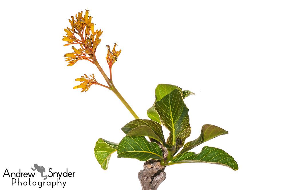 Sandpaper tree (Curatella americana) Parbara, Guyana.