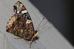 01 June 2007: Shots from the backyard, butterfly (Photo by Alan Look)