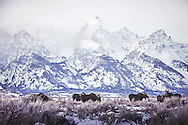 Moose gather in the sage brush with the Grand Tetons mountain range in the background.