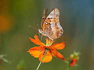 Small Butterfly, Variegated Fritillary On An Orange Flower, Euptoieta claudia